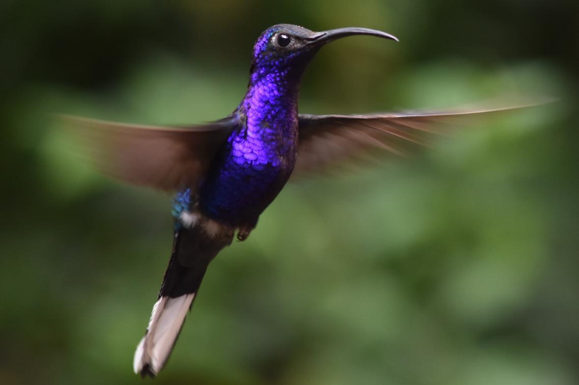 Ένα κολιμπρί σε αποχρώσεις το μωβ ενώ πετάει στο Εθνικό Πάρκο Σελβατούρα στο Μοντεβέρντε της Κόστα Ρίκα