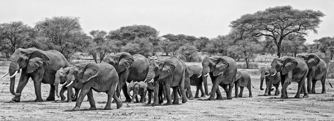 Κοπάδι από ελέφαντες στο Εθνικό Πάρκο Ταρανγκίρε, στην Τανζανία