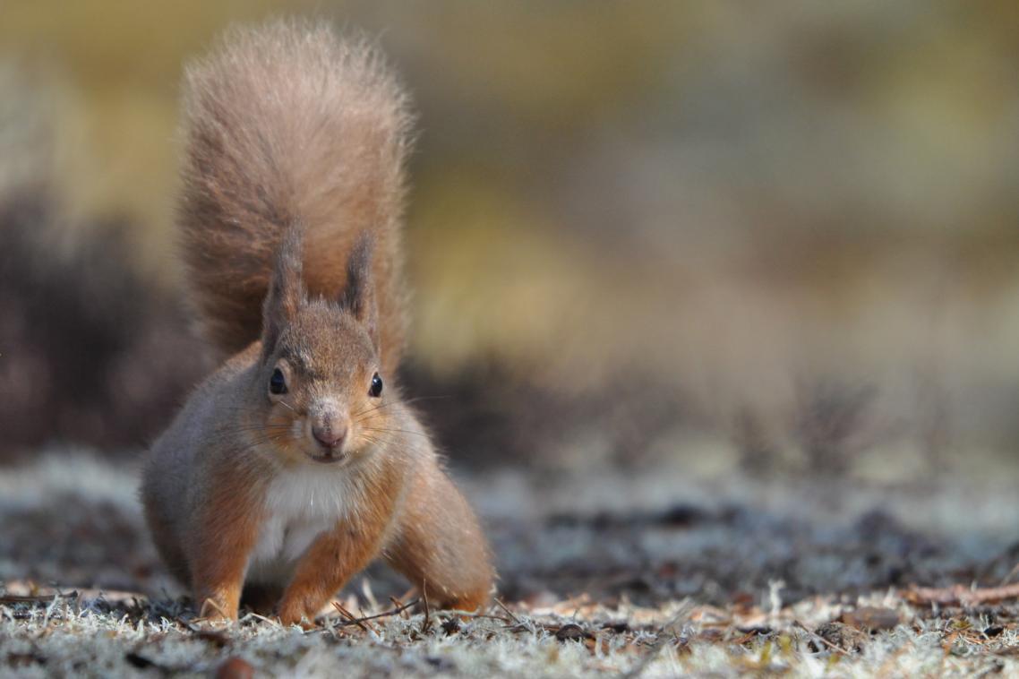 Η φωτογραφία του κόκκινου σκίουρου στο Εθνικό Πάρκο Κερνγκορμς της Σκοτίας ήταν ανάμεσα στις επιλαχούσες