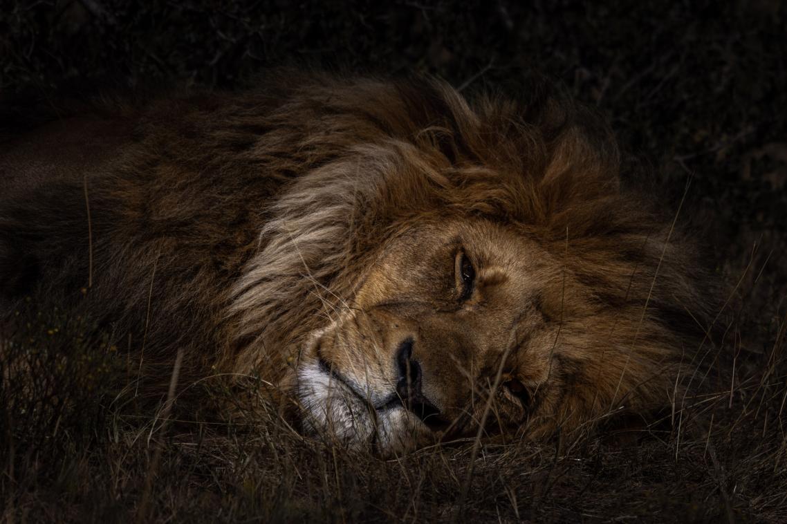 Ενα λιοντάρι ξεκουράζεται στο ιδιωτικό πάρκο Kwantu, στη Νότια Αφρική