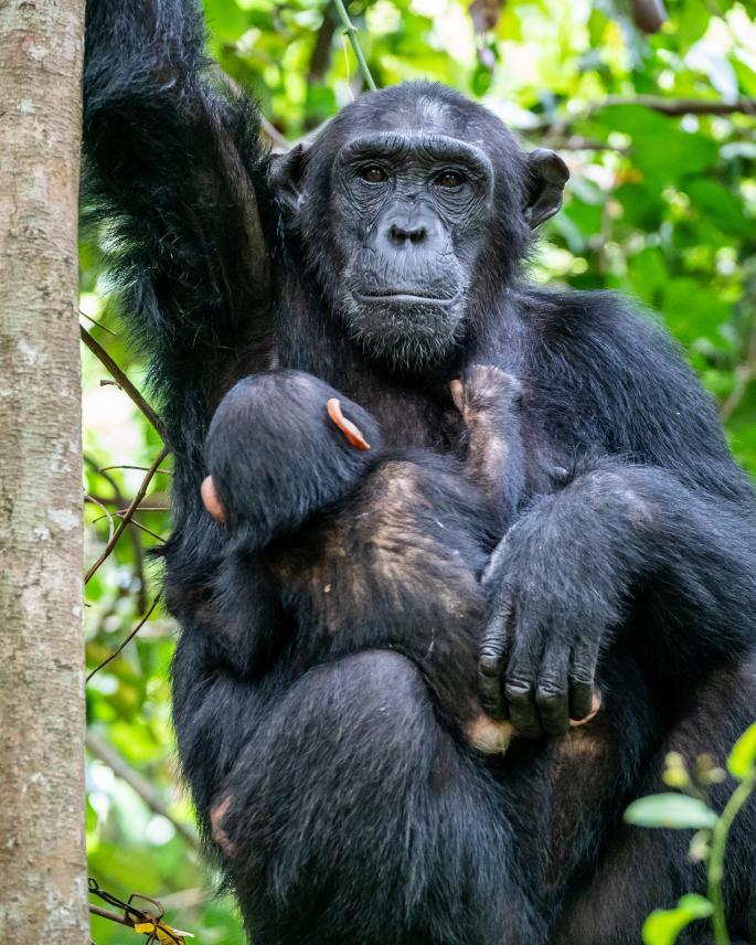 Μια χιμπατζίνα με το μωρό της στο Εθνικό Πάρκο Μαχάλε Μάουντενς στην Κιγκόμα της Τανζανίας