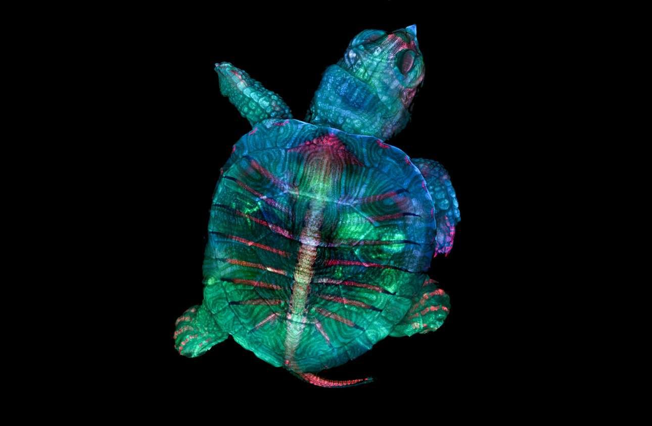 Η εκπληκτική εικόνα μιας φωσφορίζουσας χελώνας κέρδισε την πρώτη θέση του διαγωνισμού