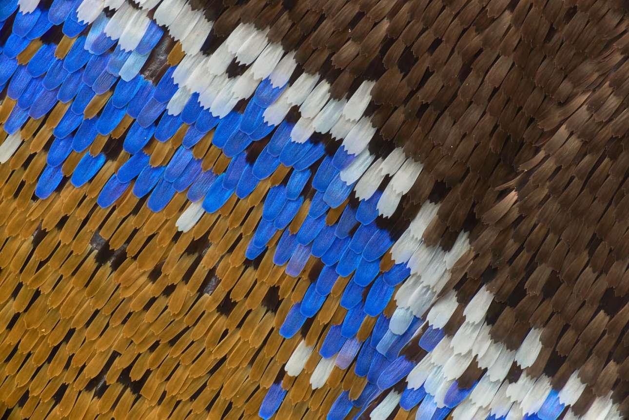 Τα πολύχρωμα φτερά μιας αυτοκρατορικής μπλε πεταλούδας