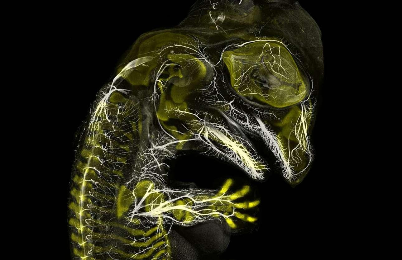 Εμβρυο αλιγάτορα που βρίσκεται στο στάδιο που αναπτύσσει νεύρα και σκελετό