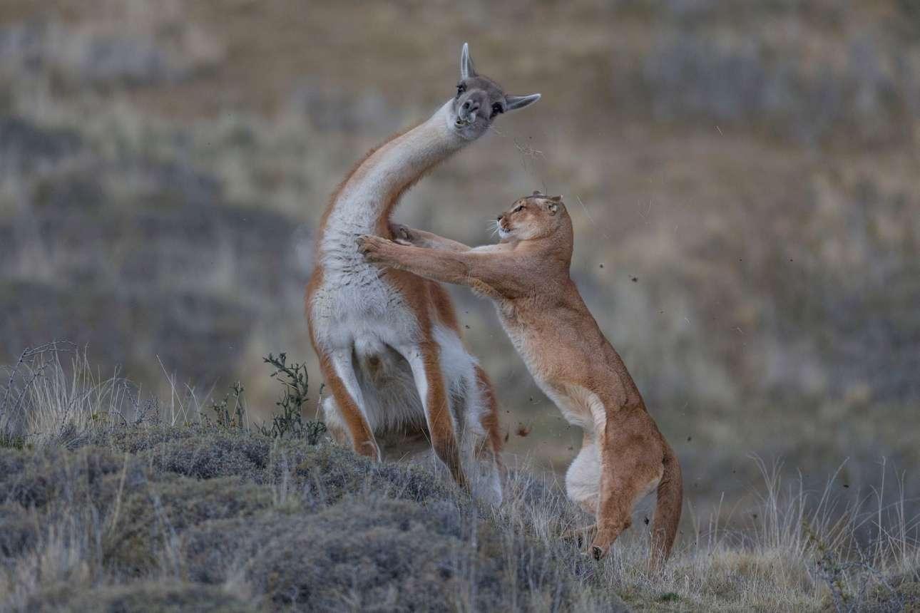 Στην κατηγορία «Συμπεριφορά Θηλαστικών» το λάμα με το γεμάτο γρασίδι στόμα, γυρίζει τον λαιμό του, για να ξεφύγει από τα νύχια του πούμα. Μετά από έντονο αγώνα τεσσάρων δευτερολέπτων, το λάμα καταφέρνει να δραπετεύσει
