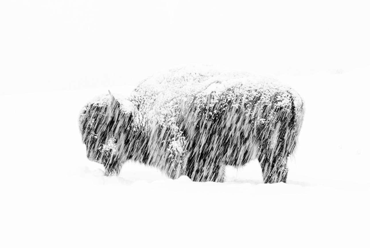 Ο μοναχικός βίσονας που παραμένει ακίνητος κατά τη διάρκεια μιας μεγάλης χιονοθύελλας, βγήκε νικητής στην κατηγορία «Ασπρόμαυρη Φωτογραφία»
