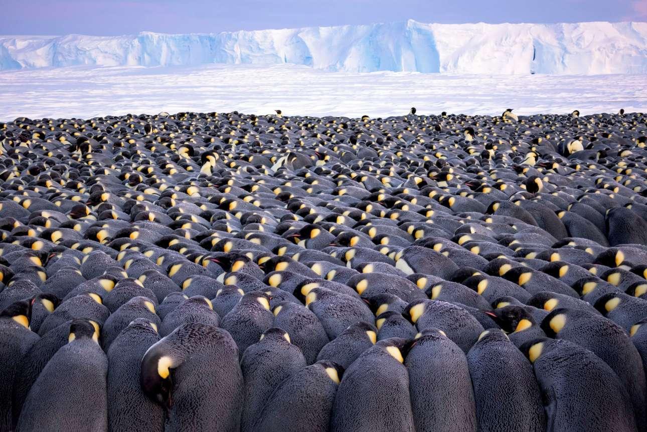 Περισσότεροι από 5.000 αρσενικοί αυτοκρατορικοί πιγκουίνοι στον κόλπο Ατκα της Ανταρκτικής δημιουργούν με τα σώματά τους ένα αντιανεμικό πεδίο. Ανάμεσα στα πόδια τους βρίσκονται φυλαγμένα τα αβγά, που πρέπει να διατηρηθούν ζεστά, για να φέρουν τους απογόνους τους στη ζωή