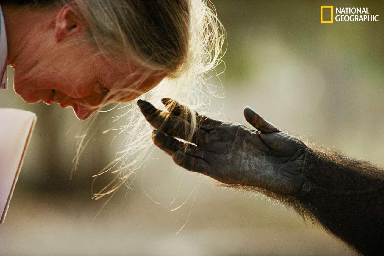 O αιχμάλωτος χιμπατζής Τζου - τζου τείνει το χέρι του προς την διεθνούς φήμης πρωτευοντολόγο Δρ. Τζέιν Γκούντολ