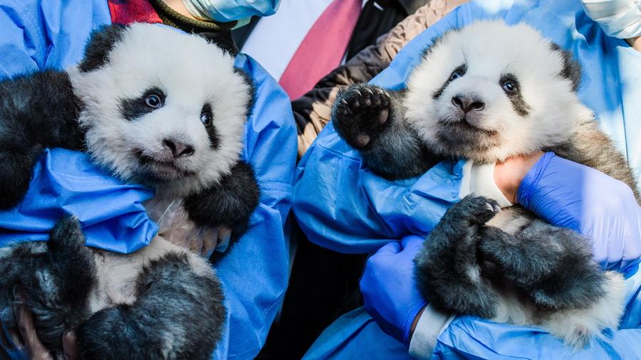 Δίδυμα μωρά πάντα, δήθεν σοβαρά και μελαγχολικά όπως πάντα, εκτίθενται στον φακό μέσα στην αγκαλιά δύο εργαζομένων του ζωολογικού κήπου του Βερολίνου