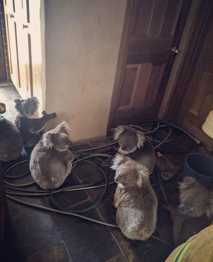 Κοάλα κατέφυγαν στα σπίτια των ανθρώπων για να σωθούν από τις φωτιές. Εκτιμάται ότι ο μισός πληθυσμός τους χάθηκε στις πυρκαγιές των τελευταίων εβδομάδων
