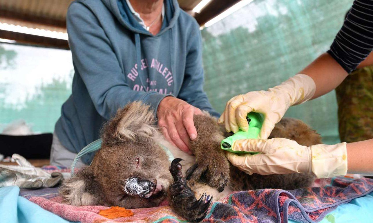 Αυστραλία: κάηκε από τις φλόγες στη μουσούδα του, αλλά αυτό το κοάλα θα γιάνει