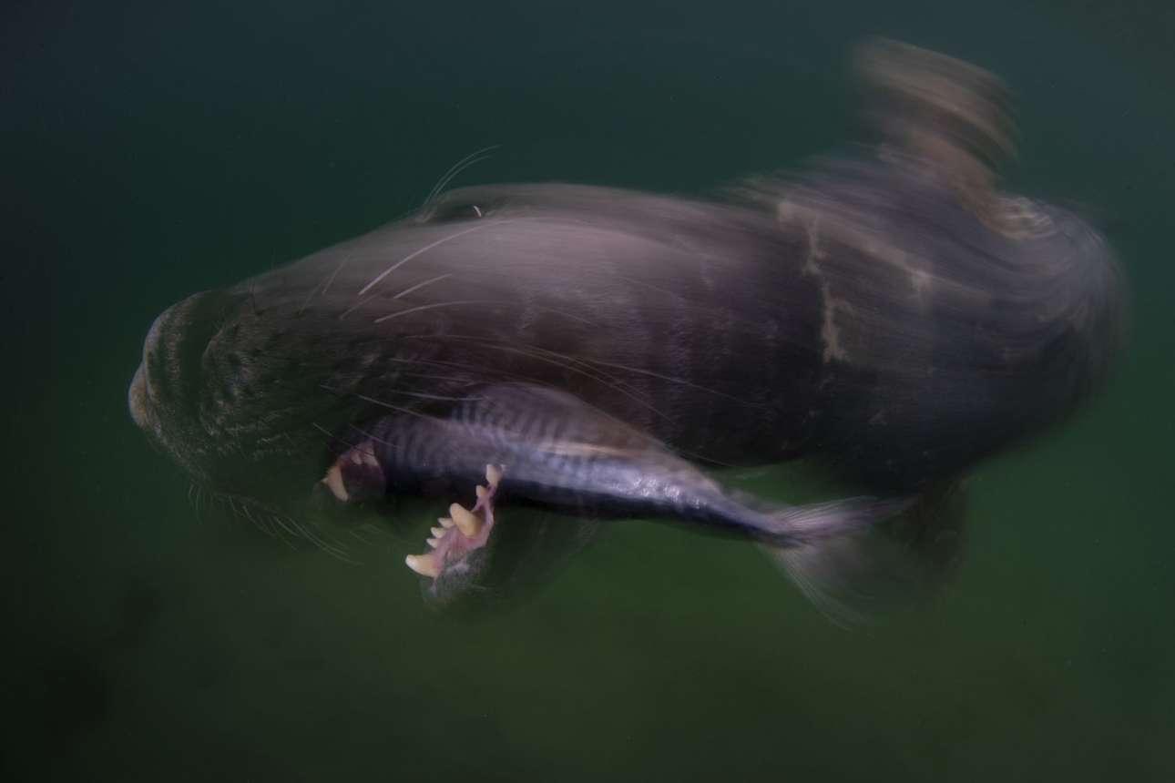 Τρίτη θέση, κατηγορία Κρύα Νερά. Νησιά Σέτλαντ, Σκωτία: ο φωτογράφος χρησιμοποιεί την τεχνική της μακράς έκθεσης όχι μόνο για να απαθανατίσει την ταχύτητα της γκρίζας φώκιας καθώς αρπάζει ένα ψάρι, αλλά και για να δώσει έμφαση στο πρόσωπό της