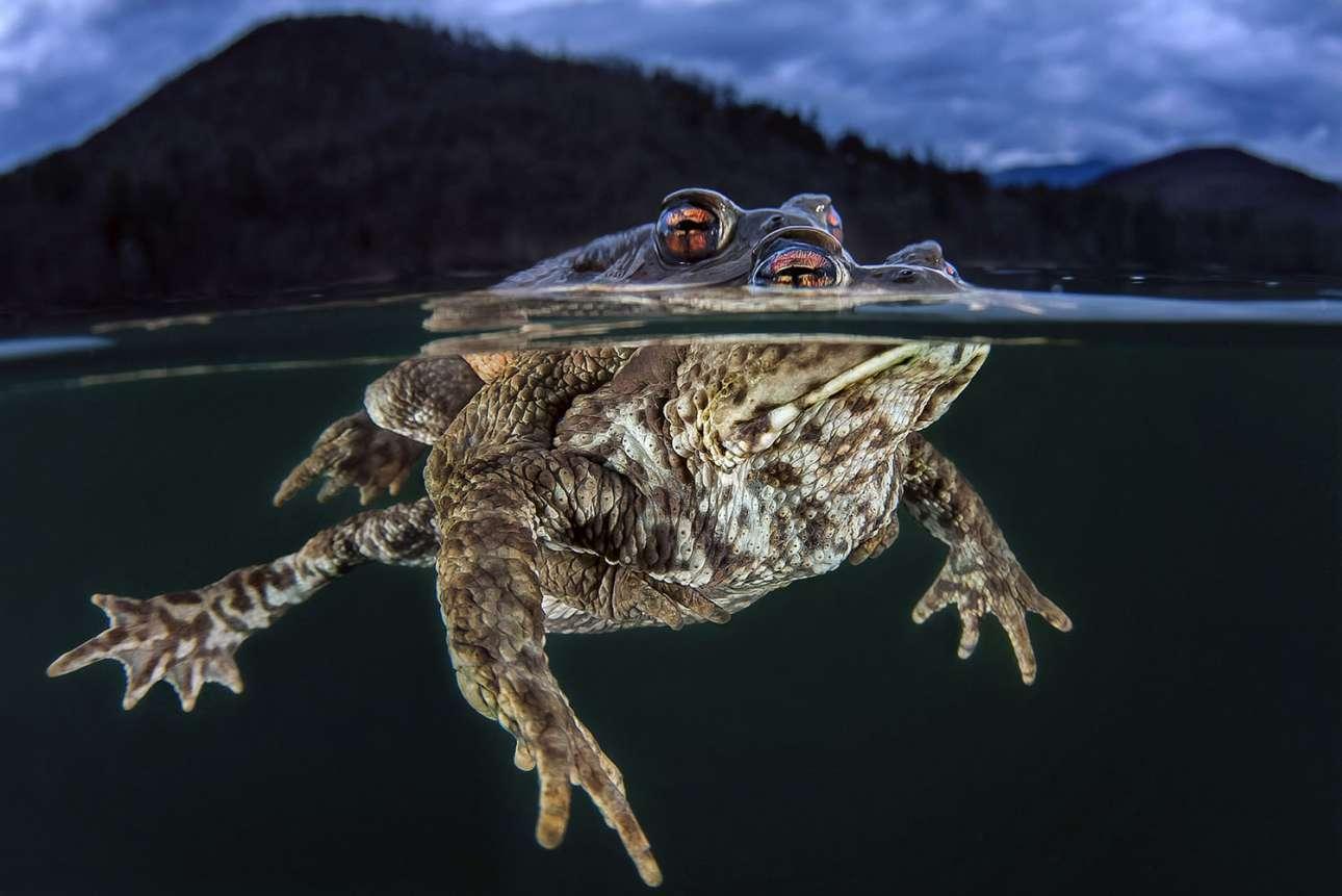 Τρίτη θέση, κατηγορία Πορτρέτο. Δύο βατράχια ζευγαρώνουν στη λίμνη Big Monticolo της Ιταλίας, την άνοιξη