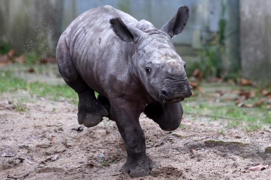 Ο νεογέννητος λευκός ρινόκερος με το όνομα Γουίλι τρέχει στον ζωολογικό κήπο στο Ντόρτμουντ