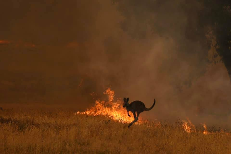 Ενα καγκουρό προσπαθεί να ξεφύγει από τις φωτιές στο Λίθγκοου στη Νέα Νότια Ουαλία