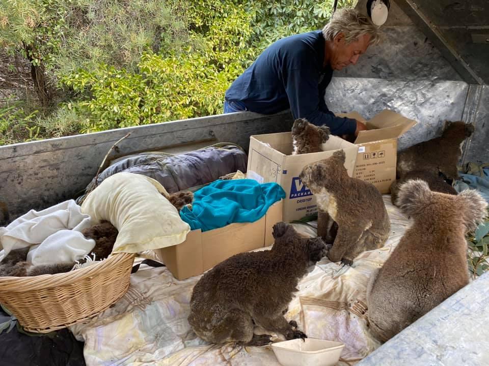 Τραυματισμένα κοάλα γλίτωσαν από τις καταστροφικές φωτιές στη Νήσο Καγκουρό