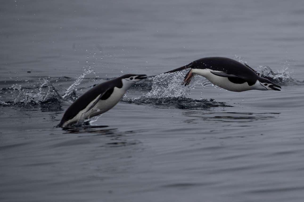 Δύο πιγκουίνοι κολυμπούν λίγα μέτρα μακριά από το νησί Two Hummock