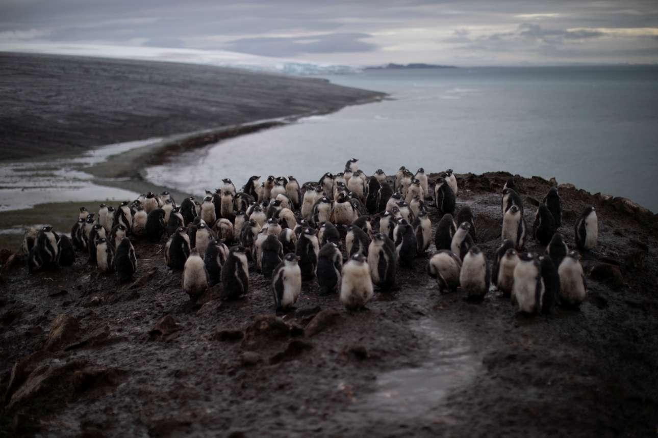 Αποικία πιγκουίνων Chinstrap πάνω στο νησί Σνόου