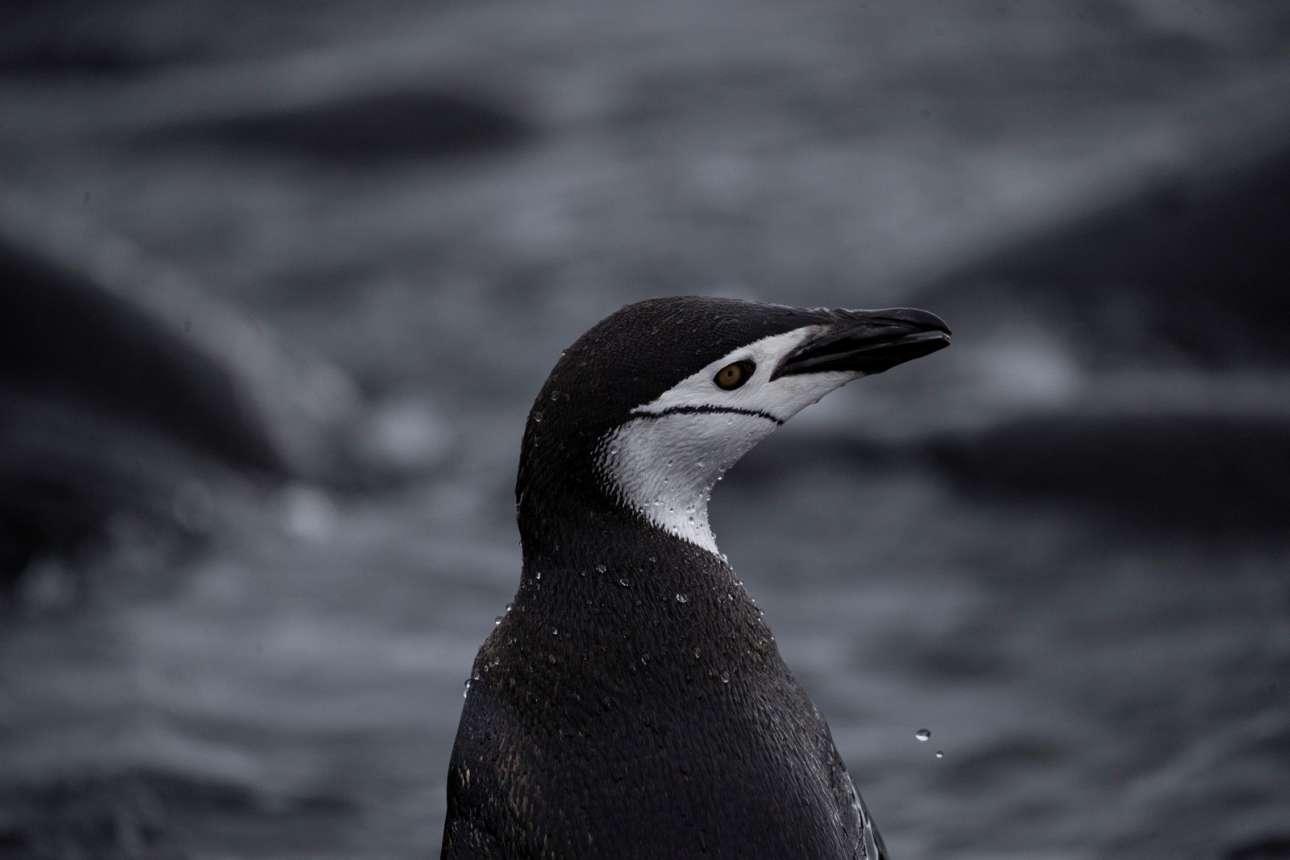 Ενας πιγκουίνος του είδους Chinstrap στέκεται περήφανος στο νησί Σνόου