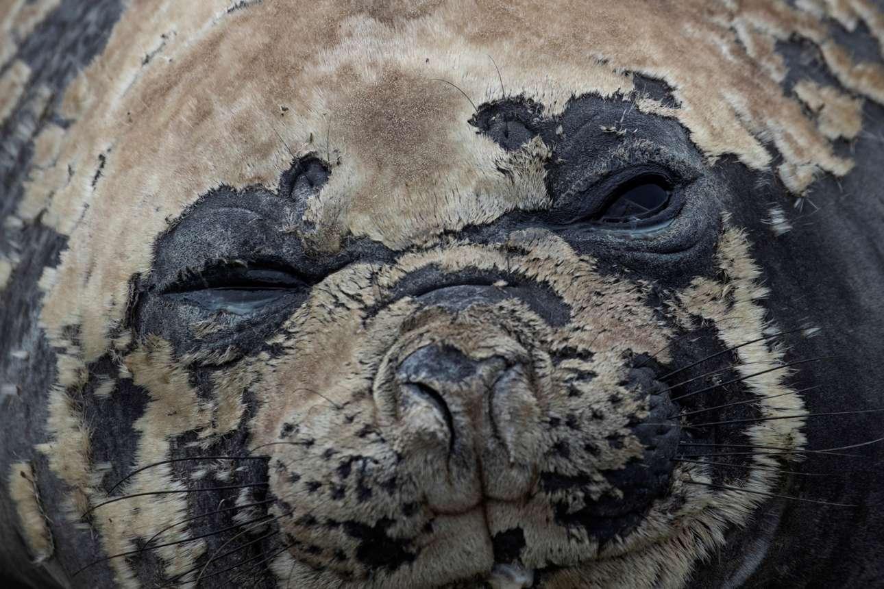 Μία χαριτωμένη φώκια ξεκουράζεται στην κορυφή του νησιού Σνόου
