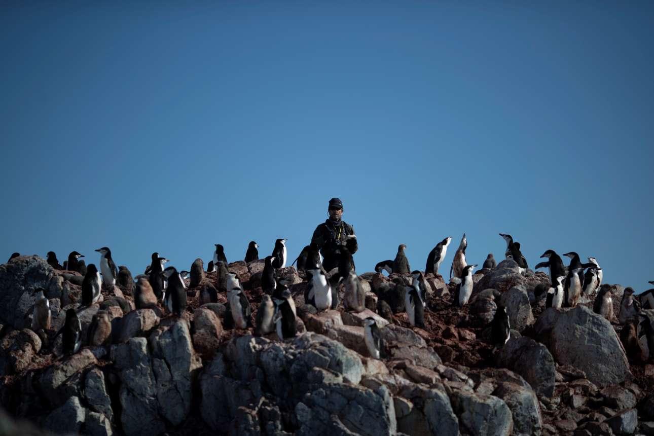 Ο επιστήμονας Στιβ Φόρεστ μετράει τους πιγκουίνους Chinstrap μιας αποικίας που κατοικεί στο νησί Ανβερς