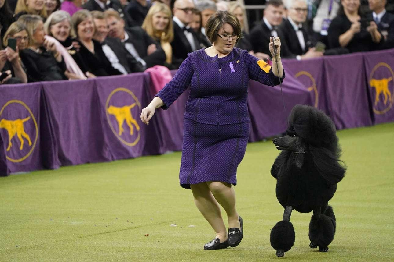 ΗΠΑ: ο Σίμπα, ράτσας Standard Poodle, παρελαύνει συνοδευόμενος στην πασαρέλα του διαγωνισμού σκύλων που έγινε στο Madison Square Garden της Νέας Υόρκης