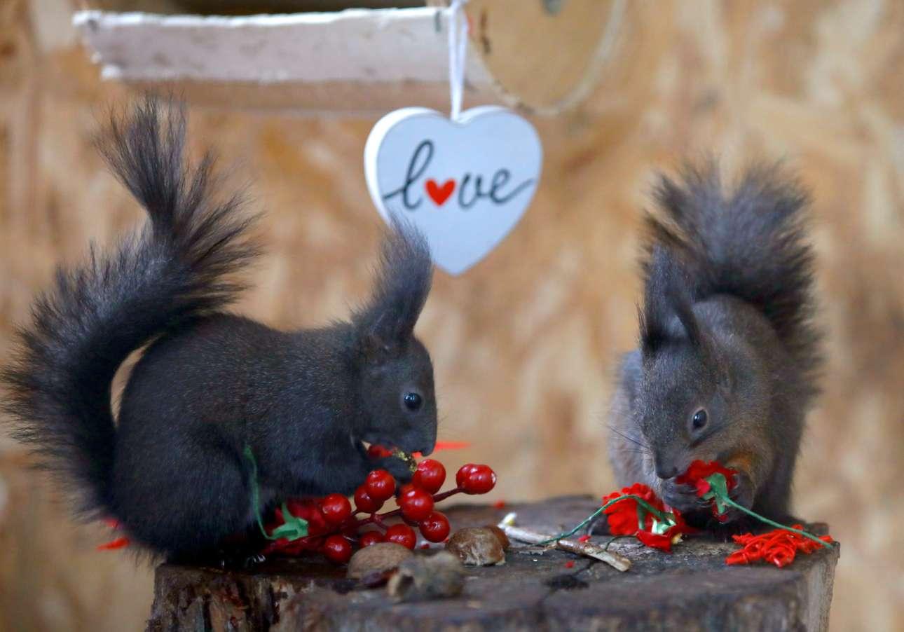 Σκόπια: σκίουροι απολαμβάνουν τα μεζεδάκια που τους ετοίμασε το προωπικό του ζωολογικού κήπου για την «ημέρα του Αγίου Βαλεντίνου»