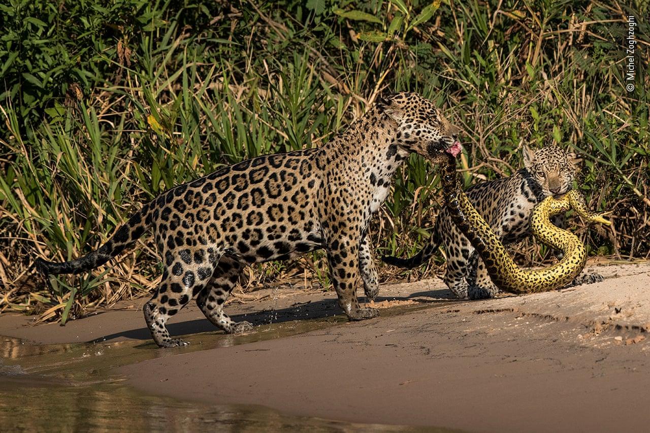 Το φίδι με τους ιαγουάρους. O Μισέλ Ζογκζόγκι από τον Λίβανο τριγυρνούσε στην περιοχή Παντανάλ της Βραζιλίας με στόχο να φωτογραφίσει ιαγουάρους. Eνα απόγευμα, ενώ κινούνταν με βάρκα στον ποταμό Três Irmãos, είδε να κολυμπούν δίπλα του ένας θηλυκός ιαγουάρος με το μικρό της. Καθώς έβγαιναν από το νερό, ο Ζογκζόγκι είδε ότι τα δύο ζώα είχαν πιάσει μέσα στο νερό ένα ανακόντα και το έβγαζαν στη στεριά. Πρόλαβε να τραβήξει μια φωτογραφία, η οποία βρέθηκε πολύ ψηλά στις προτιμήσεις του κοινού