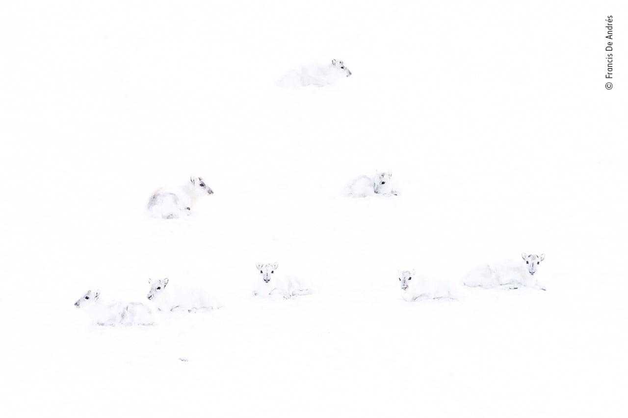 Τα λευκά ελάφια. Ο Ισπανός Φράνσις ντε Αντρες ταξίδεψε στο αρχιπέλαγος Σβάλμπαρντ, που βρίσκεται βορείως της Νορβηγίας, για να καταγράψει με τον φακό του μια περιοχή του πλανήτη όπου επικρατούν ακραίες συνθήκες. Σε ένα από τα νησιά του αρχιπελάγους συνάντησε ένα κοπάδι από αρκτικά ελάφια, τα οποία τον παρατηρούσαν με περιέργεια και τα φωτογράφισε σε μια σκηνή όπου τα συμπαθητικά ζώα μοιάζουν με φαντάσματα μέσα στο απόλυτα λευκό τοπίο
