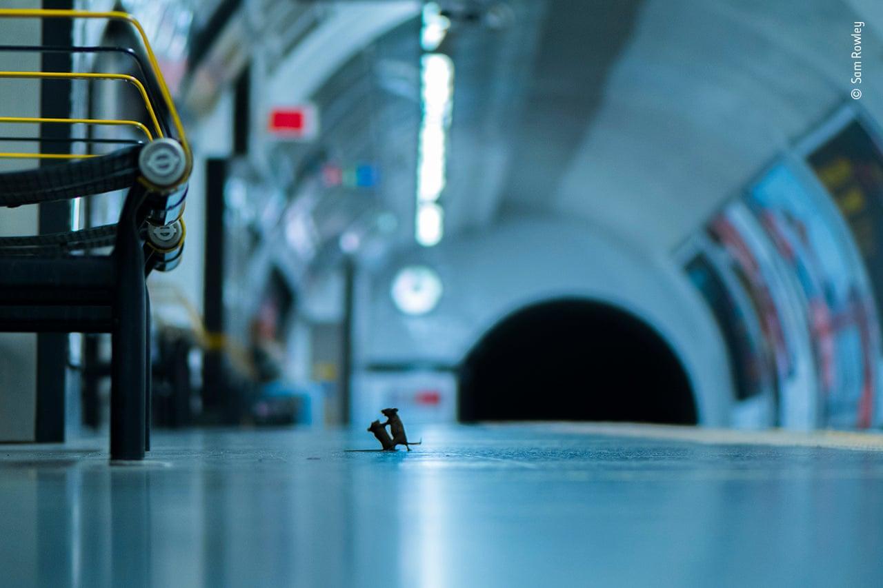 Τα ποντίκια που παλεύουν για να φάνε. Ο κινηματογραφιστής Σαμ Ρόουλεϊ, που εργάζεται ως παραγωγός στο τμήμα ντοκιμαντέρ φυσικής ιστορίας του BBC, θέλησε να καταγράψει εικόνες από τα τρωκτικά που ζουν κάτω από τους δρόμους του Λονδίνου. Ο Ρόουλεϊ, που έχει χόμπι τη φωτογραφία άγριας φύσης, καθόταν για μια εβδομάδα επί ώρες σε διάφορα υπόγεια σημεία της πόλης για να τραβήξει φωτογραφίες τις οποίες θα μπορούσε να στείλει στον διαγωνισμό. Τελικά, σε ένα σταθμό του μετρό o Ρόουλεϊ στάθηκε τυχερός, αφού μπροστά του δύο ποντίκια άρχισαν να παλεύουν για το ποιο θα αποκτήσει τα τρίμματα που είχαν πέσει από κάποιο τρόφιμο που είχε μαζί του ένας επιβάτης. Η φωτογραφία έλαβε τις περισσότερες ψήφους του διαγωνισμού