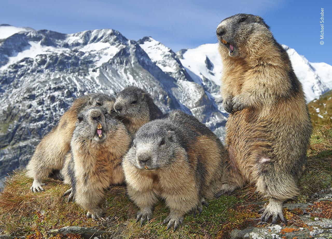Η χαρά της μαρμότας. O Μάικλ Σόμπερ επισκέφτηκε το Εθνικό Πάρκο Hohe Tauern στην Αυστρία και φωτογράφισε μια παρέα από μαρμότες οι οποίες ζουν στο Πάρκο και όχι μόνο έχουν συνηθίσει την παρουσία των ανθρώπων, αλλά τους πλησιάζουν με χαρά για να φωτογραφηθούν μαζί τους. Ο λόγος που οι μαρμότες έχουν αυτή τη συμπεριφορά είναι ότι έχουν διαπιστώσει πώς όταν είναι κοντά σε ανθρώπους, οι εχθροί τους, και ειδικά οι χρυσαετοί, δεν τις πλησιάζουν