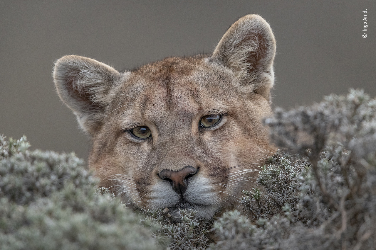 To πούμα χαλαρώνει. Για διάστημα δύο ετών, ο Γερμανός Ινγκο Αρντ παρακολουθούσε τα πούμα στο Εθνικό Πάρκο Torres del Paine στην Παταγονία. Το εικονιζόμενο θηλυκό πούμα είχε συνηθίσει την παρουσία του Αρντ σε τέτοιο βαθμό, που κάποια μέρα έπεσε και κοιμήθηκε κοντά σε αυτόν και όταν ξύπνησε τον κοίταξε με ήρεμο βλέμμα και συνέχισε να χαλαρώνει, επιτρέποντάς του να τραβήξει αυτή τη φωτογραφία, η οποία κέρδισε την προσοχή του κοινού