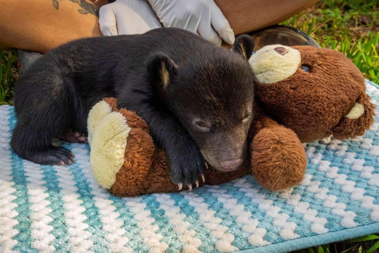 Μελβούρνη. Το αρκουδάκι είναι ορφανό και του λείπει η μάνα. Μεγαλώνοντας, θα παρηγορηθεί όπως και ο «Πάντιγκτον» του Μάικλ Μποντ. Και αργότερα θα κάνει παρέα μόνο με τη «Ρόζι» του Τζέραλντ Ντάρελ, την ελεφαντίνα που τόσο αγαπά την μπίρα