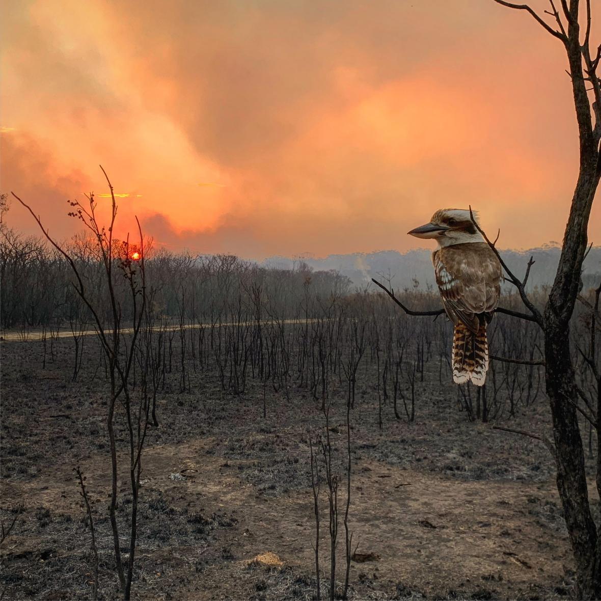 Μια κουκαμπούρα, ένα από τα πιο εντυπωσιακά πουλιά του πλανήτη, κοντά στο σπίτι του φωτογράφου στο Γουαλάμπι Πόιντ στη Νέα Νότια Ουαλία της Αυστραλίας όταν η καταστροφική φωτιά έπληξε την περιοχή