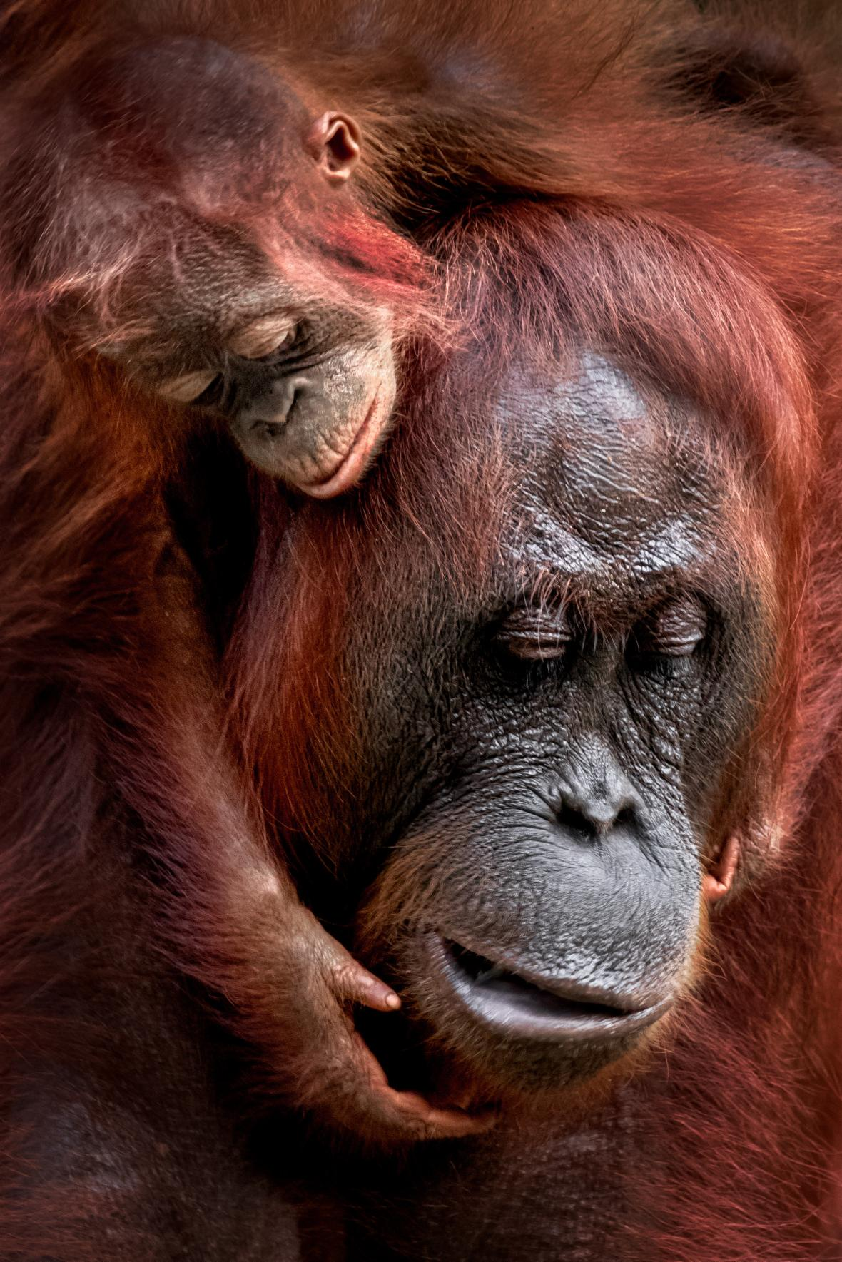 Μια μαμά και ένα μωρό του γένους των ουρακοτάγκων στο Εθνικό Πάρκο Τανγιούνγκ Πούτινγκ στη Βόρνεο της Ινδονησίας. Τα μωρά μένουν με τις μητέρες τους μέχρι να γίνουν επτά ετών, οι οποίες τα κουβαλούν συνεχώς τα πρώτα δύο χρόνια