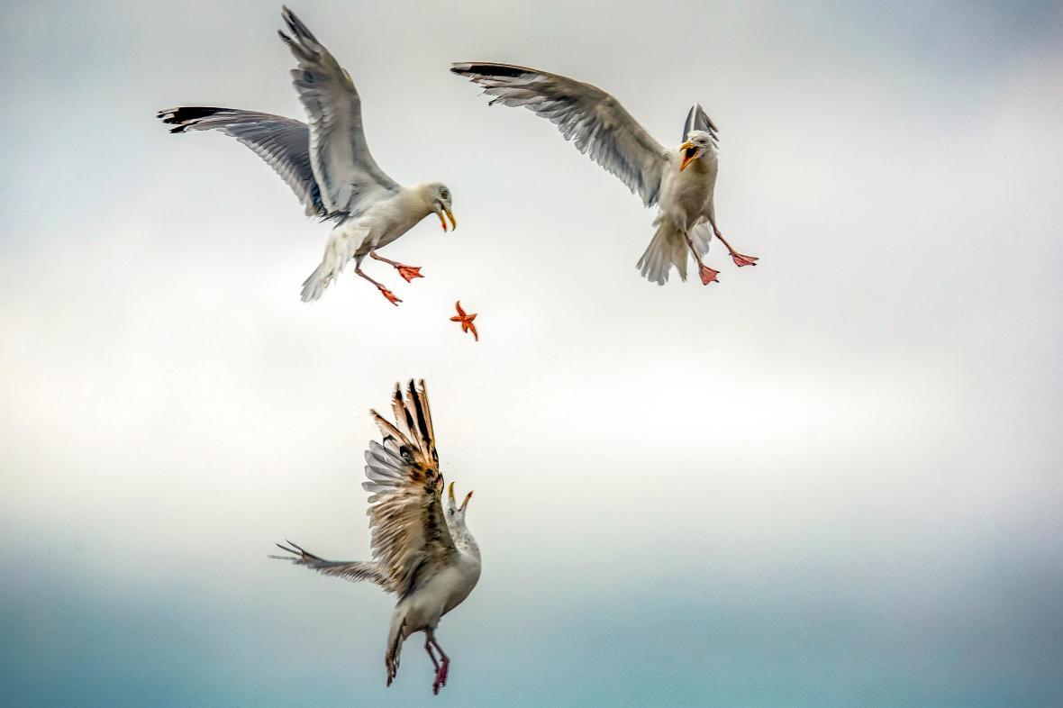 Γλάροι ανταγωνίζονται για έναν αστερία πάνω από την παραλία Λα Μπολ, στις ακτές του Ατλαντικού στη Γαλλία