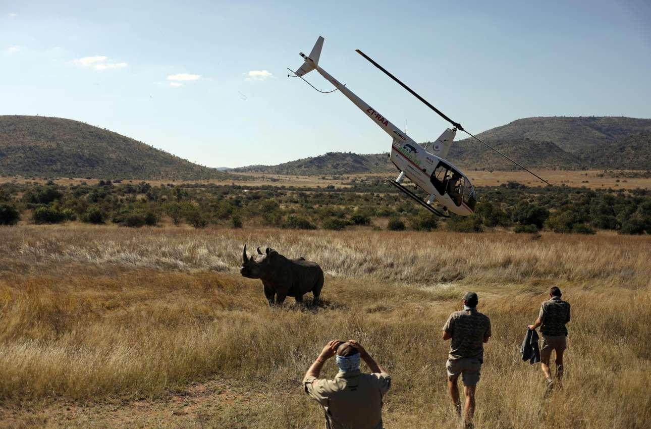 Αυτού του ήδη ναρκωμένου ρινόκερου οι εργάτες του νοτιοαφρικανικού πάρκου θα αφαιρέσουν το κέρατο, για να τον σώσουν από τους λαθροκυνηγούς που θα του αφαιρούσαν το κέρατο αλλά μαζί και τη ζωή