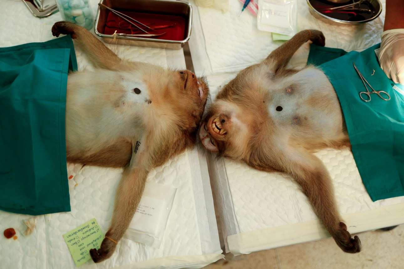 Δύο πίθηκοι σε καταστολή υφίστανται διαδικασία χειρουργικής στείρωσης από τους καλούς ταϊλανδούς κτηνιάτρους της υπηρεσίας Εθνικών Πάρκων: τα ζώα έχουν υπερπολλαπλασιαστεί και ενοχλούν τον άνθρωπο και τους τουρίστες