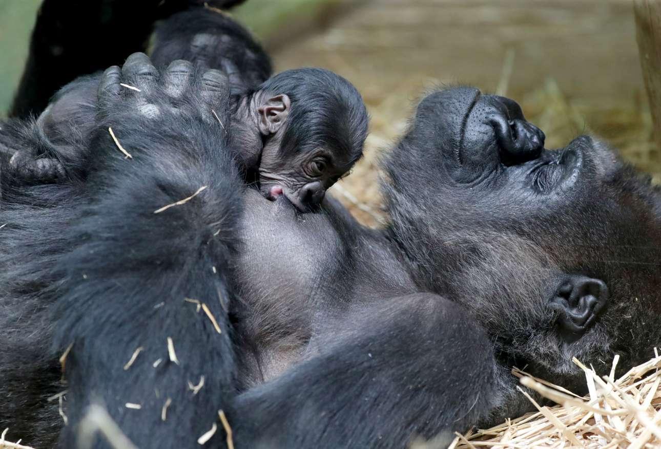 Η μάνα κοιμάται ευτυχισμένη και το νεογέννητό της, ευτυχισμένο αναλόγως, βυζαίνει. Κλικ σε μία μοναδική στιγμή της απόλυτης σχέσης στη φύση. Γορίλες στον ζωολογικό κήπο της Αμβέρσας, στο Βέλγιο