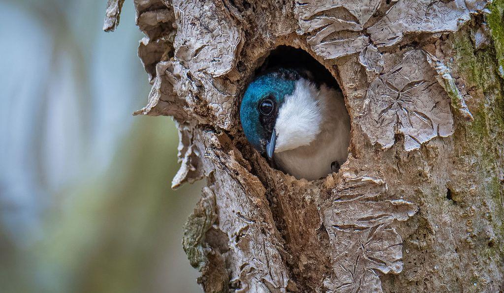 Ενα πανέμορφο τυρκουάζ χελιδόνι ξεπροβάλλει μέσα από μια κουφάλα δέντρου