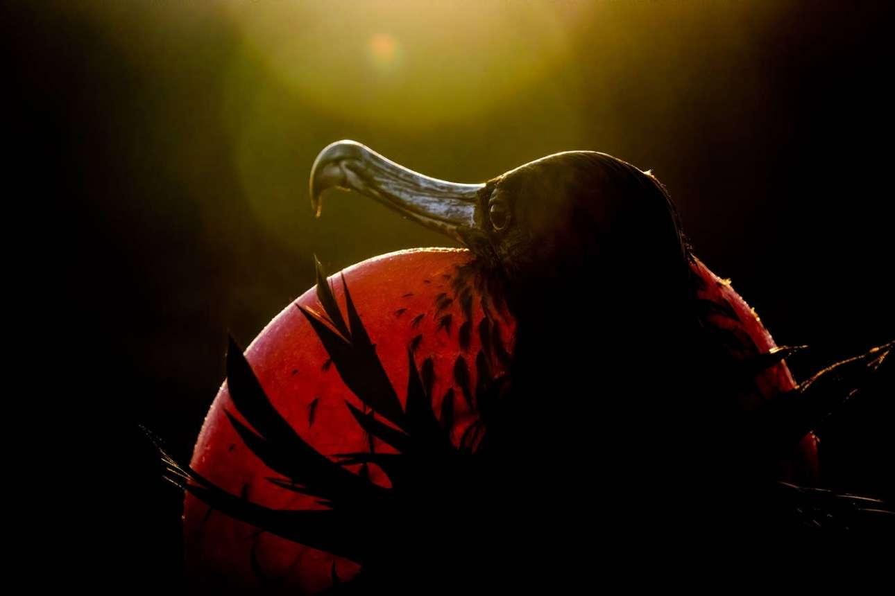 Το υπέροχο θαλάσσιο πτηνό φρεγάτα, φωτογραφημένο στη νήσο Genovesa του Ισημερινού, κέρδισε το βραβείο στην επαγγελματική κατηγορία