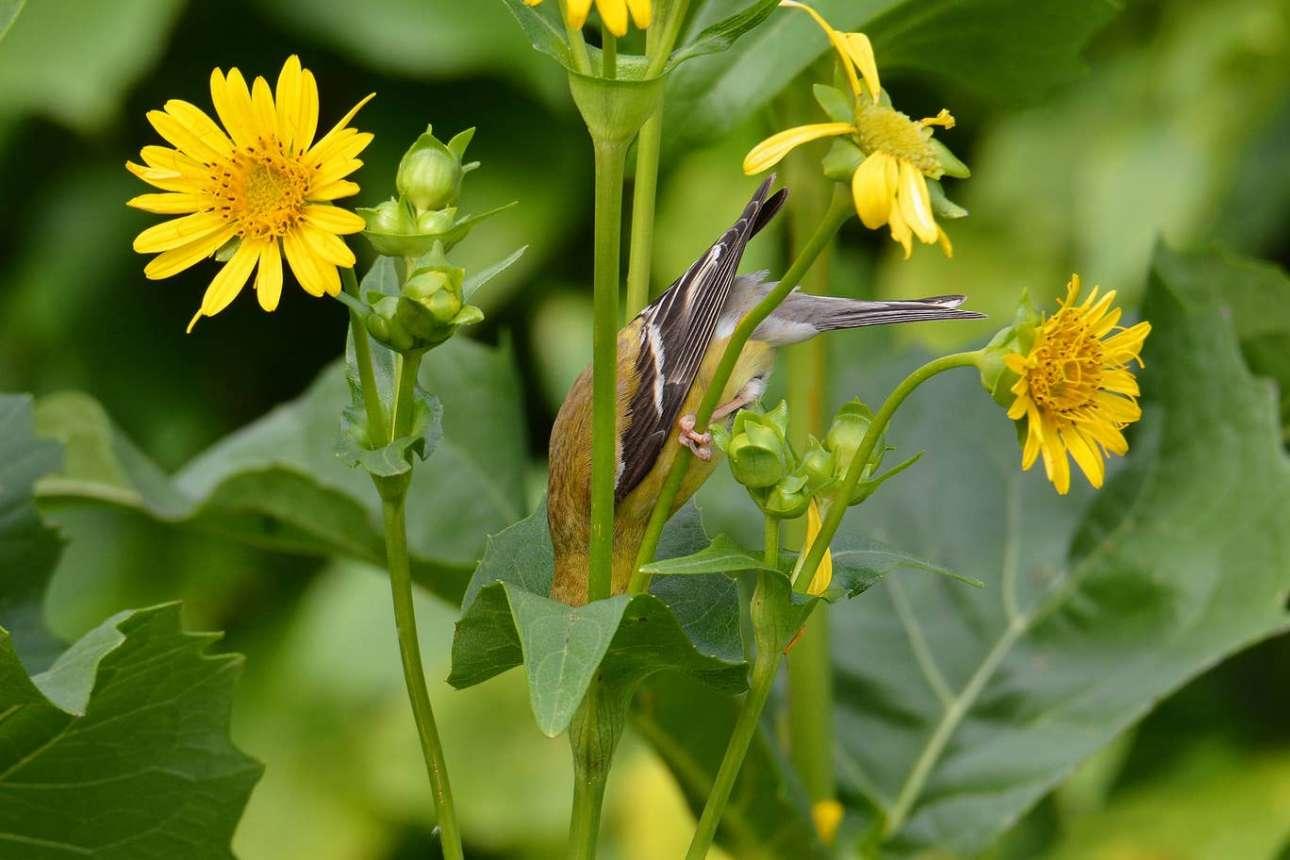 Καρδερίνα «κάνει βουτιά» μέσα σε ένα φυτό στη Μινεσότα