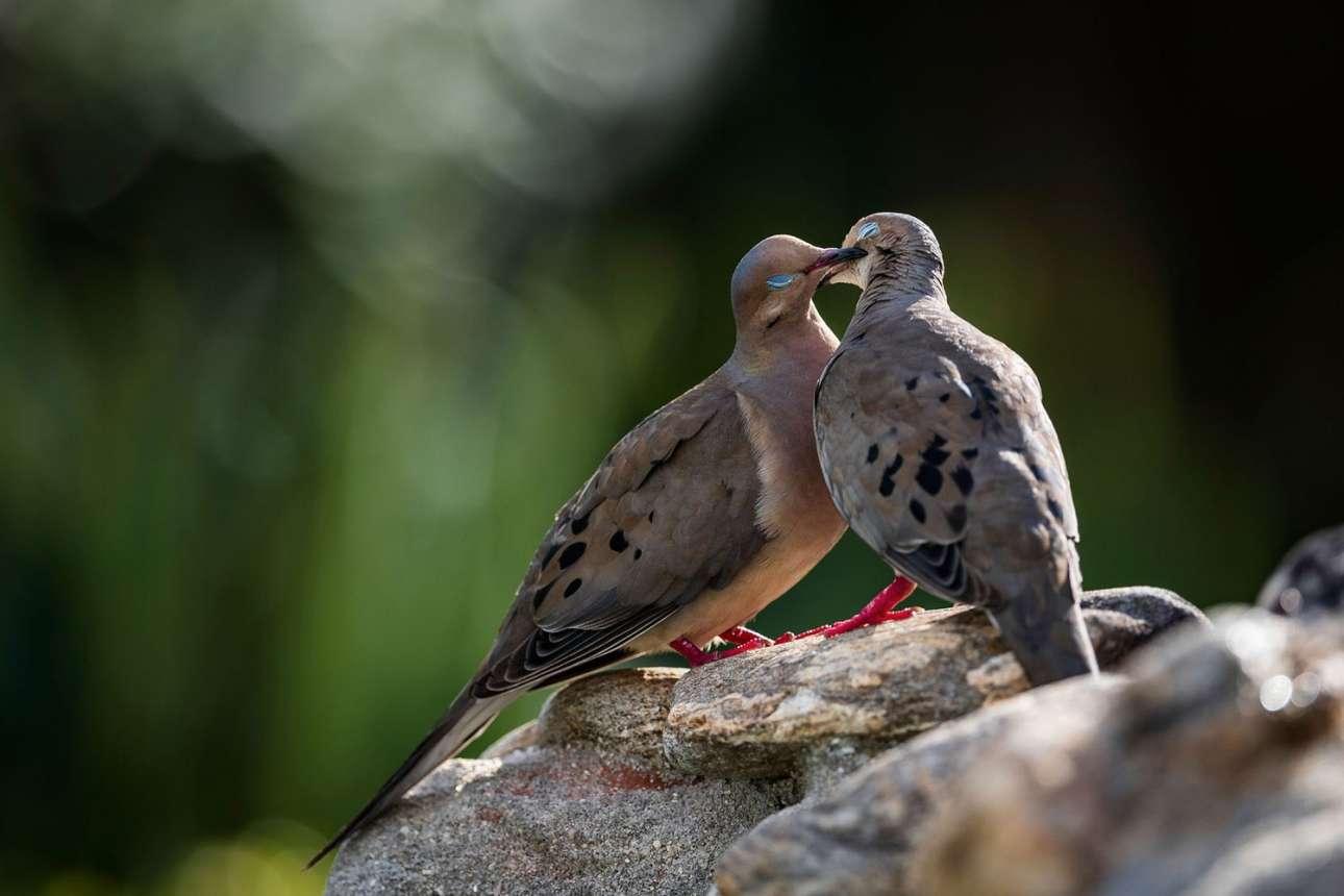Ενα φιλί στο στόμα... για τα δύο περιστέρια της φωτογραφίας