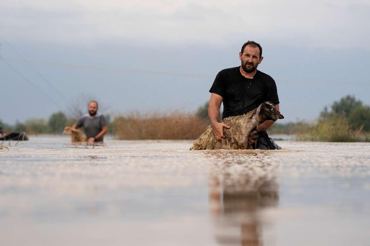 Κτηνοτρόφοι προσπαθούν να σώσουν όσα ζώα τους επέζησαν από την πλημμύρα στην Καρδίτσα