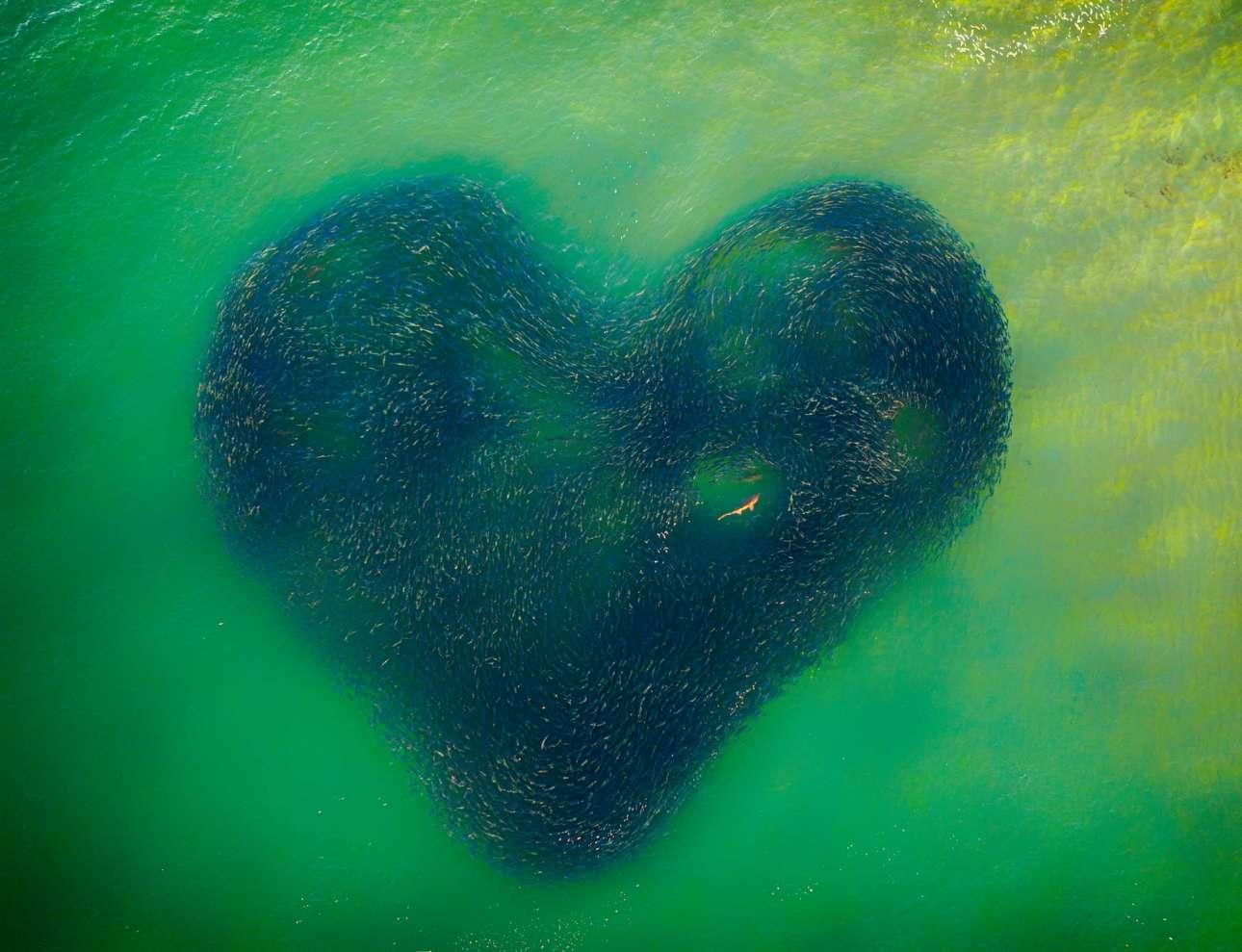 O μεγάλος νικητής του διαγωνισμού: κοπάδι σολομών σχηματίζει μια καρδιά με έναν καρχαρία να κολυμπάει μέσα της...