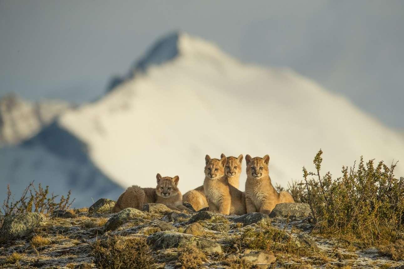 Επαινος στην κατηγορία «Πλανήτης σε κίνδυνο». Τέσσερα πανέμορφα άγρια πούμα τεσσάρων μηνών στην Παταγονία, Χιλή