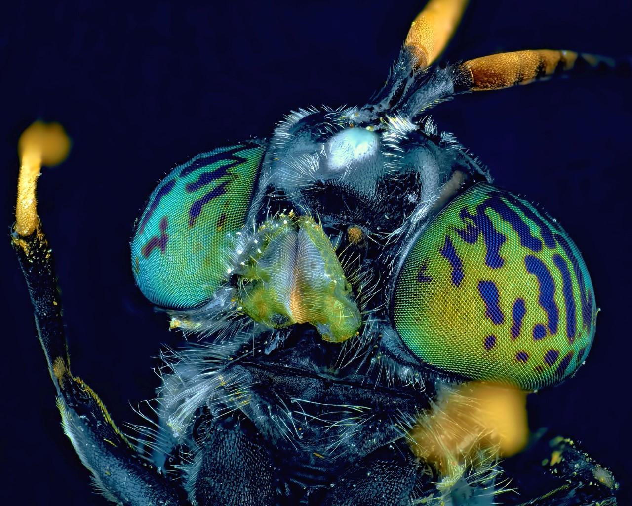 O Μάικλ Γκριμπκόφ από τη Μόσχα κατέγραψε μια εντυπωσιακή εικόνα ενός είδους μύγας (Hermetia illucens) με έντονο μαύρο χρώμα και μεταλλικές αποχρώσεις, η οποία έχει καταφέρει να μεταναστεύσει σε όλες τις ηπείρους του πλανήτη και είναι γνωστή ως «μαύρος στρατιώτης»