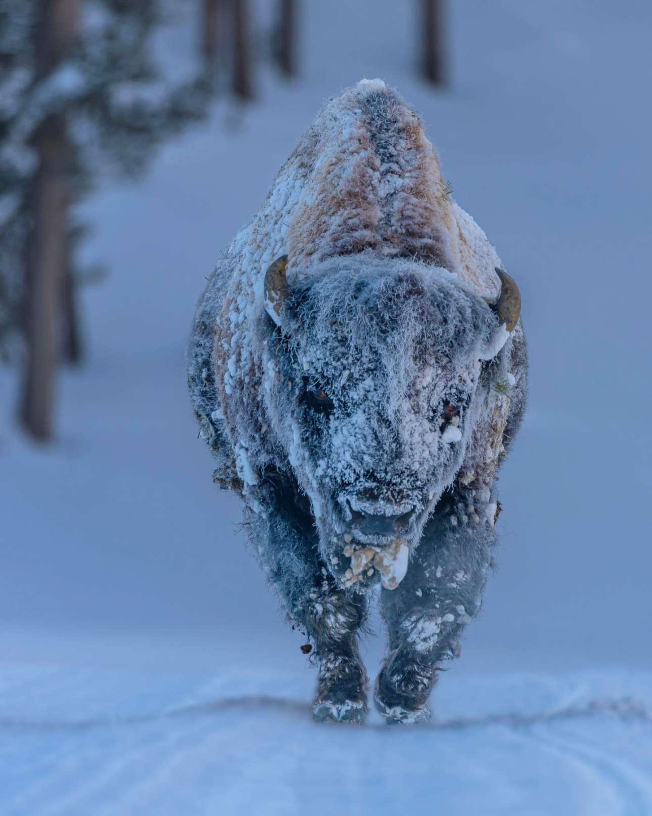 Παγωμένος βίσονας στο Εθνικό Πάρκο Yellowstone των ΗΠΑ, όπου τον χειμώνα οι θερμοκρασίες κυμαίνονται μεταξύ -20°C και -50°C