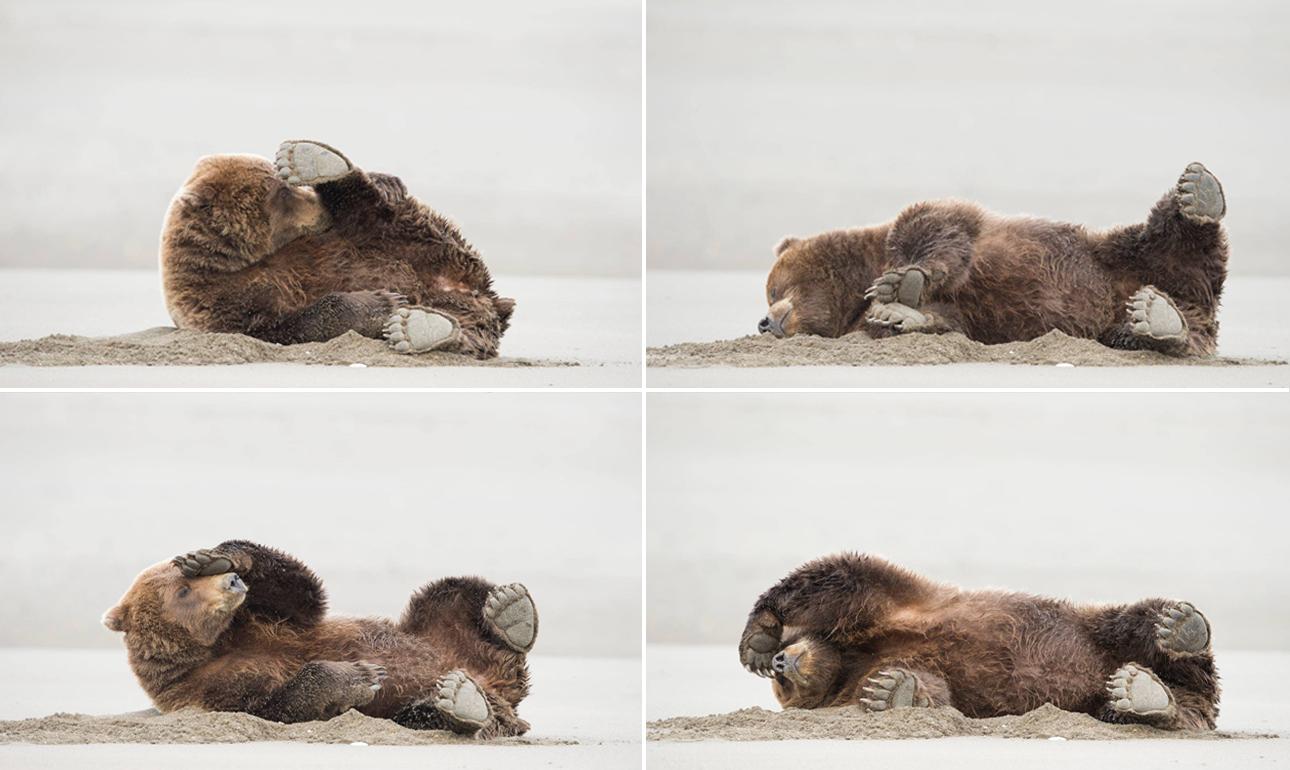 «Θανατηφόρα πόρδη» ο χιουμοριστικός τίτλος της φωτογραφίας που κέρδισε το βραβείο στην κατηγορία «Πορτφόλιο» και απεικονίζει μία καφέ αρκούδα στην Αλάσκα να «καταρρέει», έχοντας μόλις μυρίσει τα αέριά της...