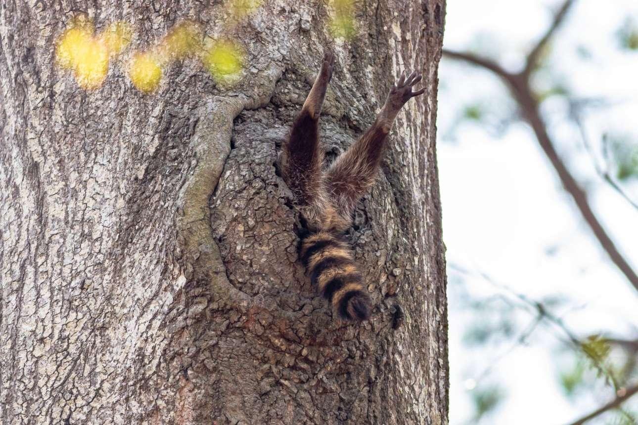 «Αντε να σηκώνομαι σιγά σιγά» σκέφτεται μάλλον το ρακούν της φωτογραφίας, που μόλις ξύπνησε και τεντώνεται μέσα σε κουφάλα δέντρου στη Βιρτζίνια των ΗΠΑ